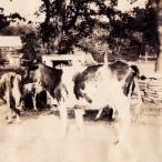 Milan Norton Cows 01