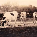Milan Norton Cows 02